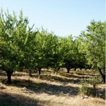 amandes nature type Ferrastar en paquet de 500 g de chez Amandes du Mont Bouquet: champs d'amandiers