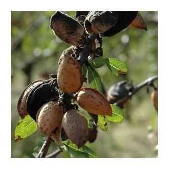 amandes grillées salées en paquet de 200 g de chez Amandes du Mont Bouquet: amandes sur l'arbre