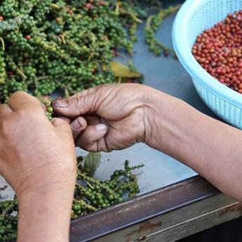 Tri manuel des grains rouges a La Plantation