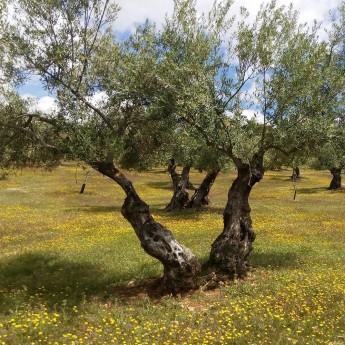 l'huile d'olive bio Picual en bidon de 2.5 l est produite de façon entièrement naturelle et écologique