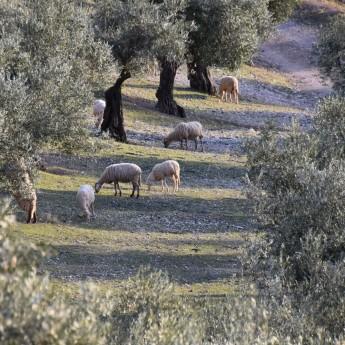 l'huile d'olive bio Picual en bidon de 2.5 l est produite de façon entièrement artisanale