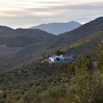 l'huile d'olive bio Picual en bidon de 2.5 l est produite en altitude dans la province de Jaen en Espagne